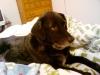 doggie_in_bed2