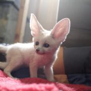 Scout the Fennec Fox