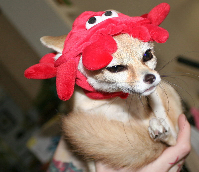 Scout the Fennec Fox with Lobster Hat