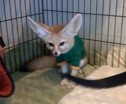 Scout wearing his jacket cuz its chilli out. Flickr Photo Sharing 2011 10 10 10 19 32 Fennec Fox In a Little Shirt!