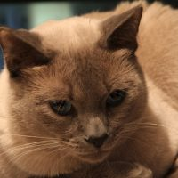 Falcore the Lilac Point Siamese Cat