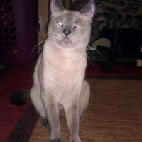IMG 20110816 061211 200x200 Falcore The Lilac Point Siamese Cat
