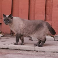 IMG 3835 200x200 Falcore The Lilac Point Siamese Cat