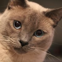 IMG 4950 200x200 Falcore The Lilac Point Siamese Cat