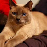 IMG 9386 edit 200x200 Falcore The Lilac Point Siamese Cat