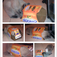Falcore Playing with a Snapple Box