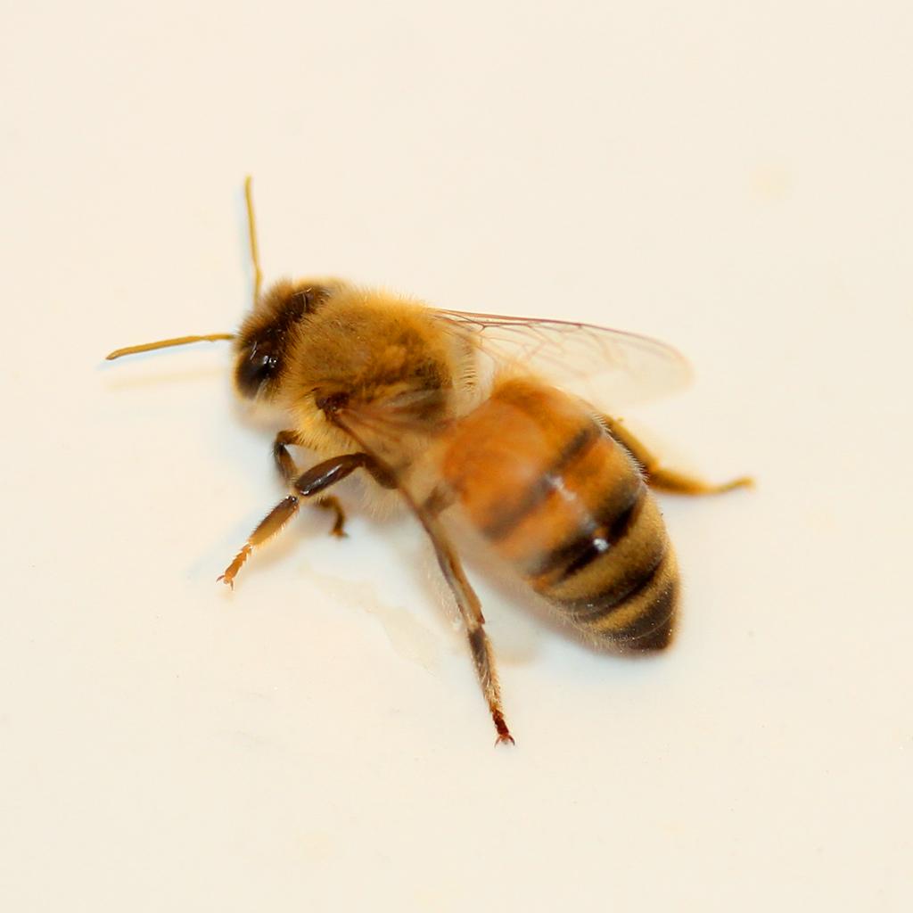 high res honey bee photo
