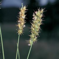 Spiny burrgrass seed heads 200x200 Stupid Spiney Burrgrass Seeds