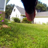 Luna The Wolfdog GoPro photo of our yard
