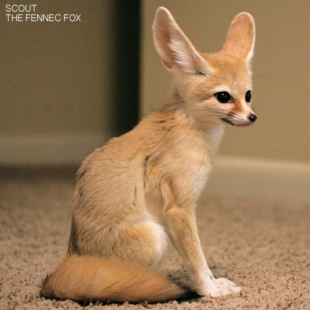 Scout The Fennec Fox The Dro