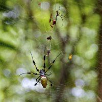 Bananna Spider