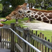 The Dro Feeding a Giraffe