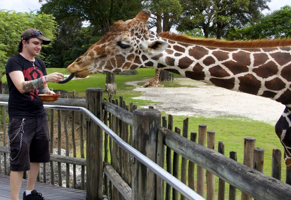 The Dro Feeding a Giraffe