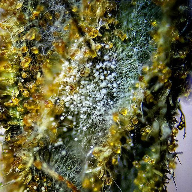 mold on cannabis
