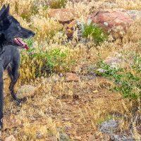LunaTheWolfdog Mount Galbraith Loop 037