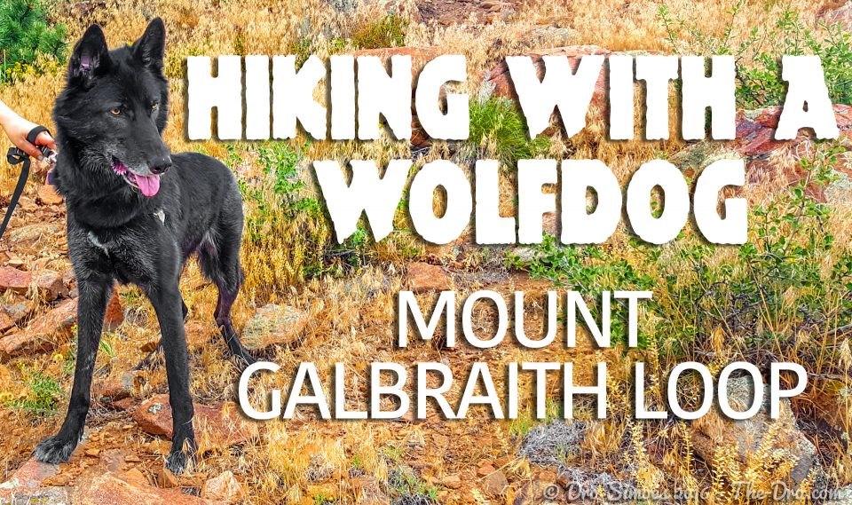 LunaTheWolfdog - Mount Galbraith Loop SLATE