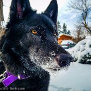 Luna the Wolfdog
