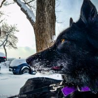 Luna the Wolfdog In Snow 2016 012