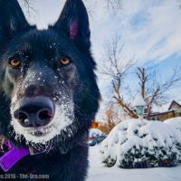 Luna the Wolfdog In Snow 2016 013