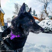 Luna the Wolfdog In Snow 2016 007