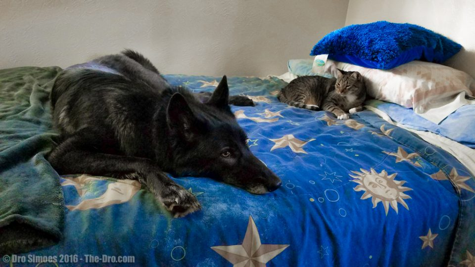 Luna the Wolfdog hanging out with Riddick the Cat 12