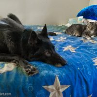 Luna the Wolfdog hanging out with Riddick the Cat 09