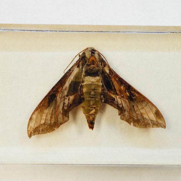 Oleander Hawk Moth Resin Paperweight