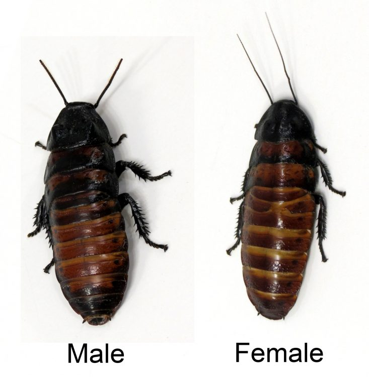 Male and Female Madagascar Hissing Cockroach comparison