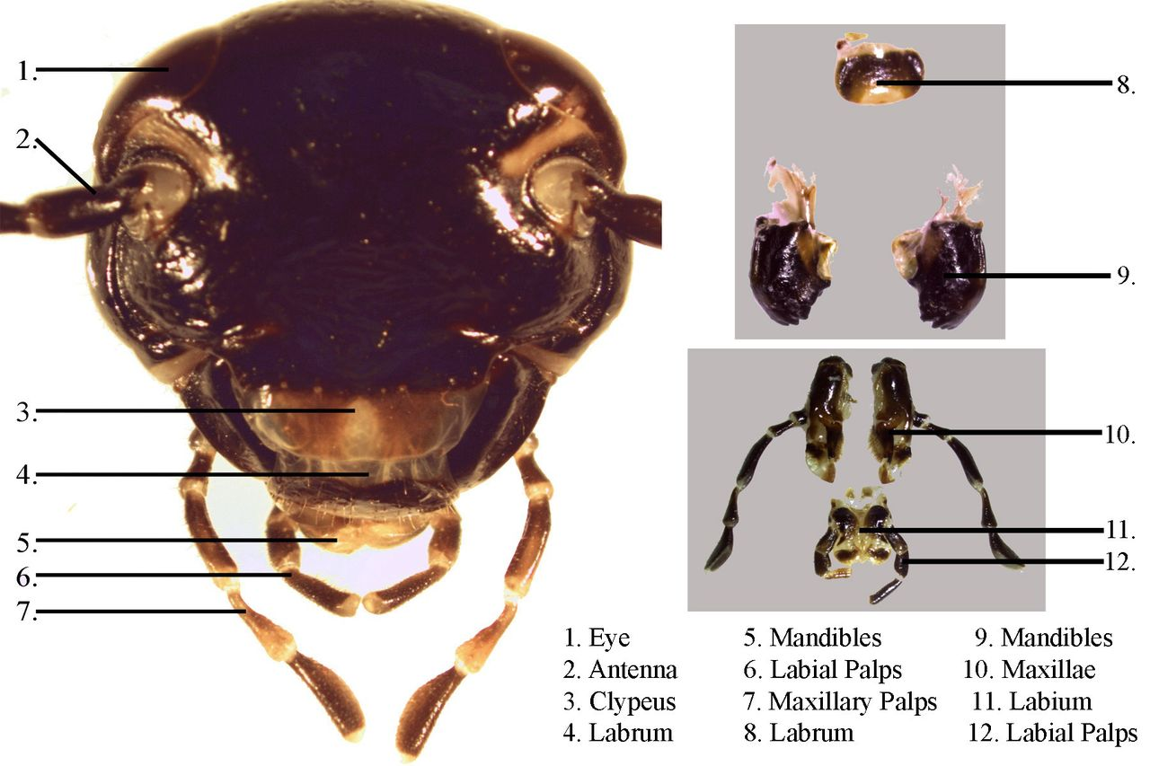 Parts of a cockroach face