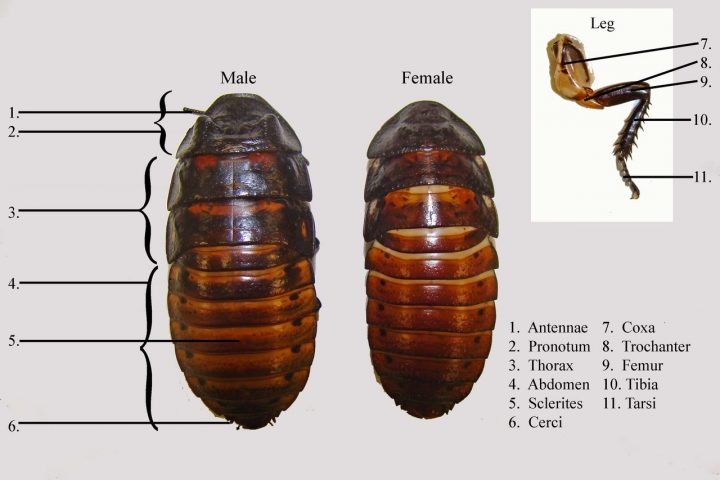 Parts of a madagascar hissing cockroach