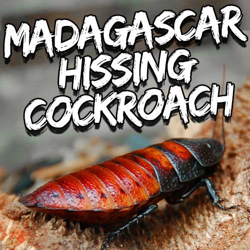 hisser roach caresheet featured