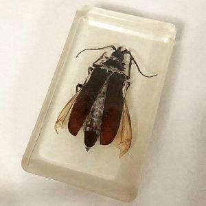 Palo Verde Beetle Paperweight