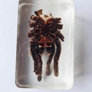 Partial Rosehair Tarantula Molt Resin Paperweight