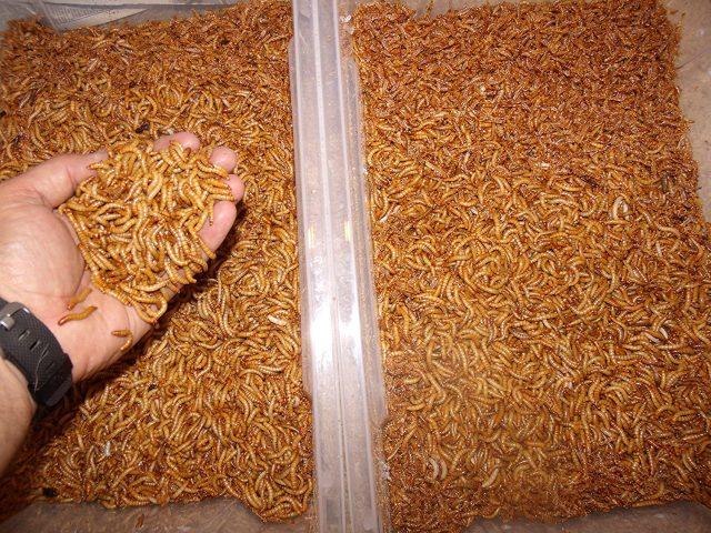 Gimminy Crickets & Worms