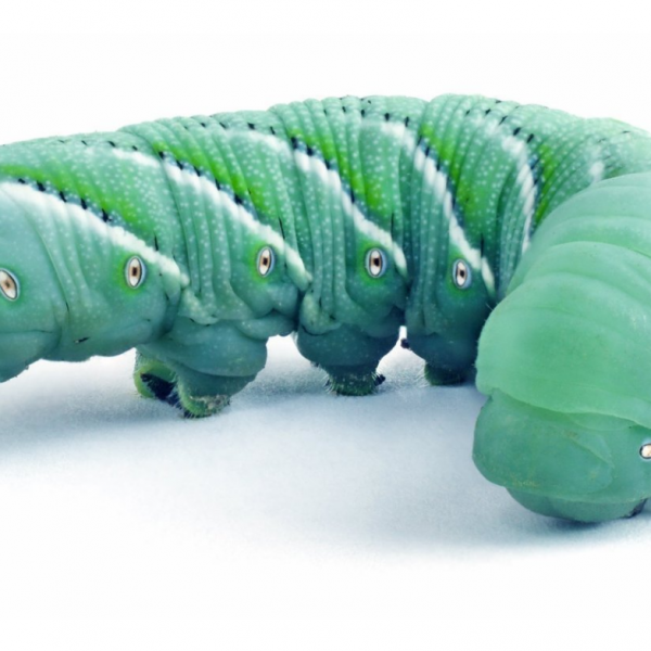 Hornworms