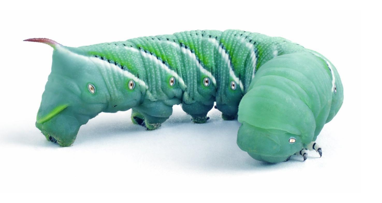 Hornworms