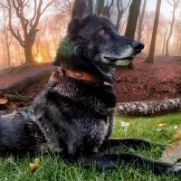 Luna the Wolfdog Composite