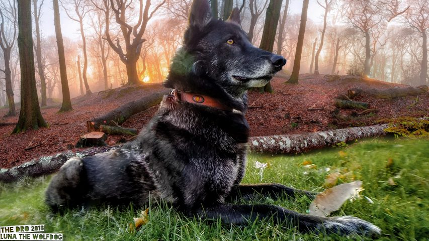 Luna the Wolfdog Composite