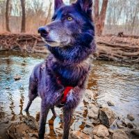 Luna the Wolfdog Blue