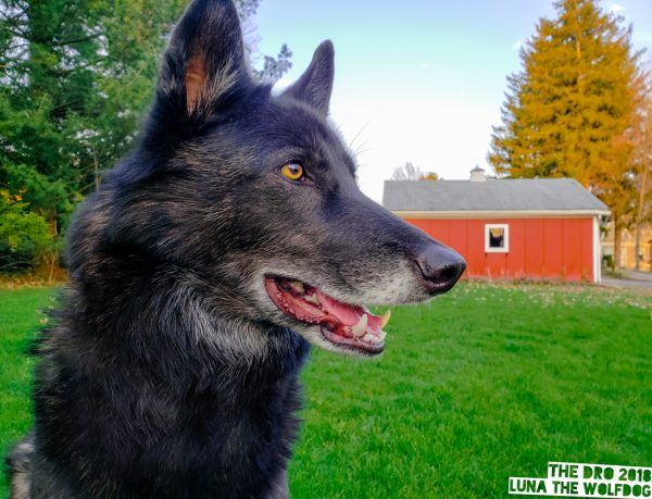 Luna the wolfdog Grass Barn