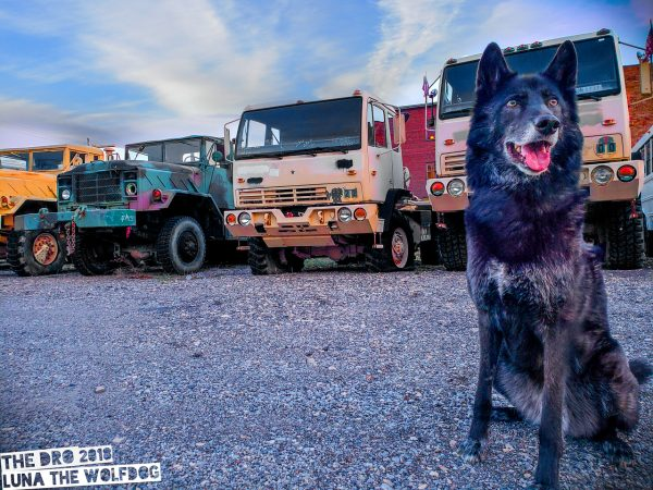 luna the wolfdog big trucks