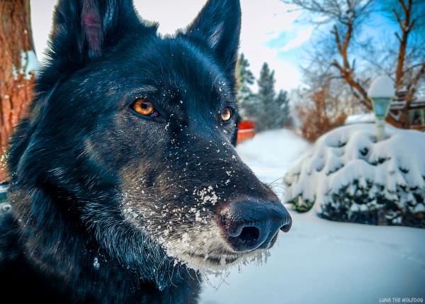 Luna The Wolfdog Snow Print