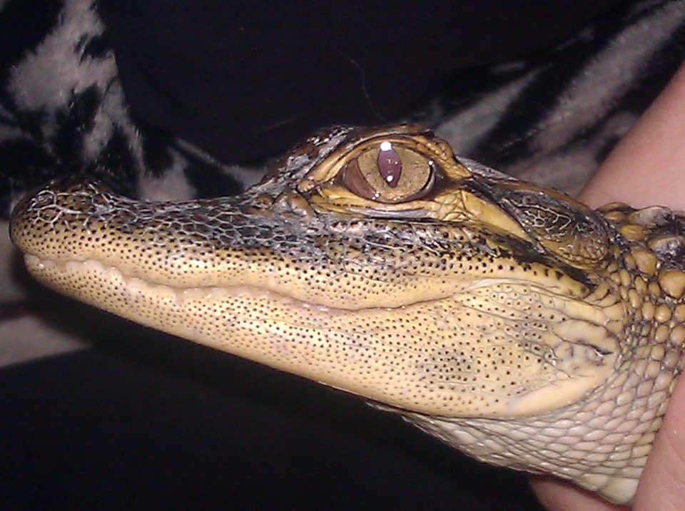 American Alligator Mr Stonewall